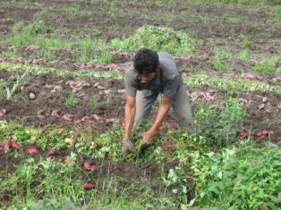 Petani Saree sedang memanen dini ubi